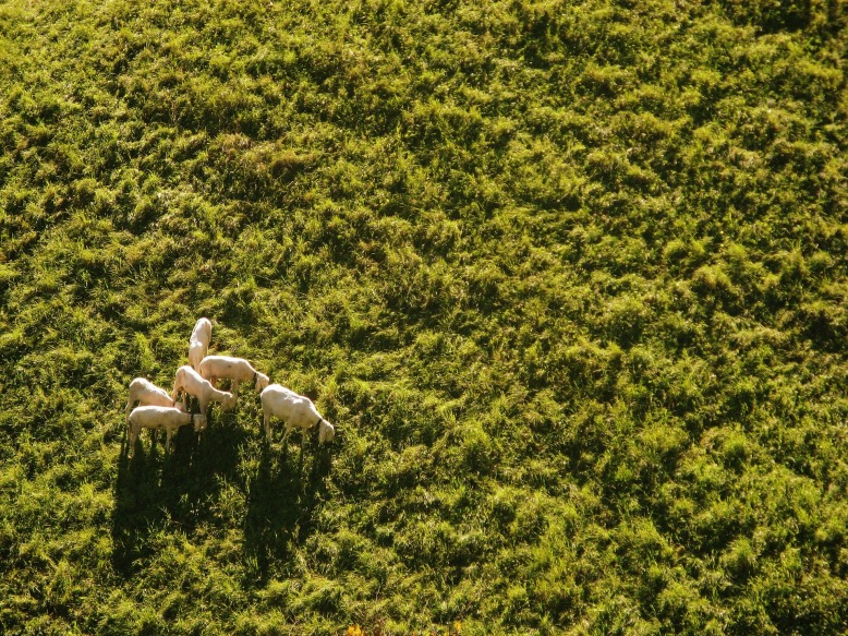 sheep-939566_1920